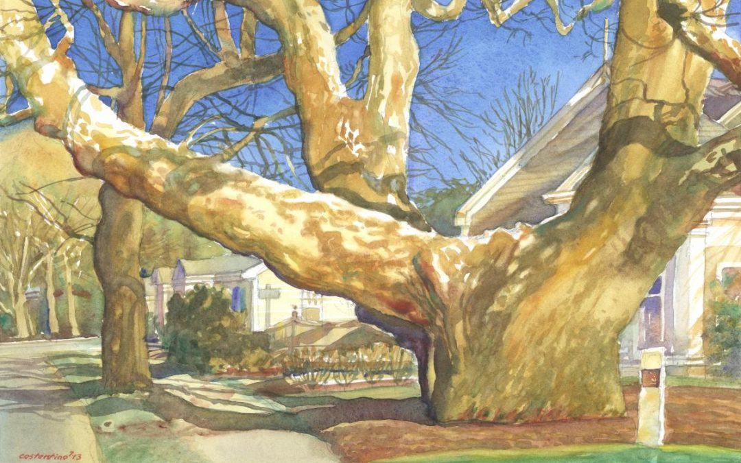 Buttonwood Icon- The Girth of Growth – en plein air watercolor painting of an iconic tree
