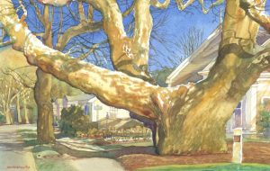 Buttonwood Icon- The Girth of Growth - en plein air watercolor painting of an iconic tree by Frank Costantino