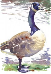 Canada's Goose - watercolor painting of Canadian Goose by Frank Costantino