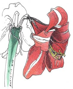 Christmas Amaryllis - color pen and ink drawing by Frank Costantino